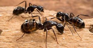 carpenter-ant